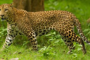 Dangers for Leopards-Does India Need Project Leopard?