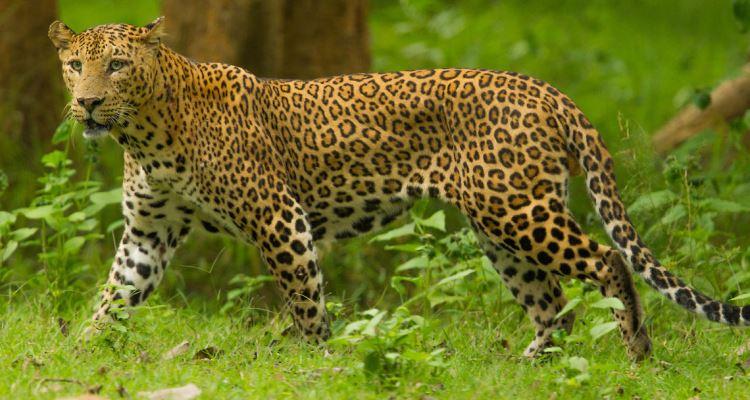 Dangers Leopards India Project Leopard